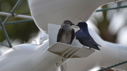 Purple Martins at Walt Disney World